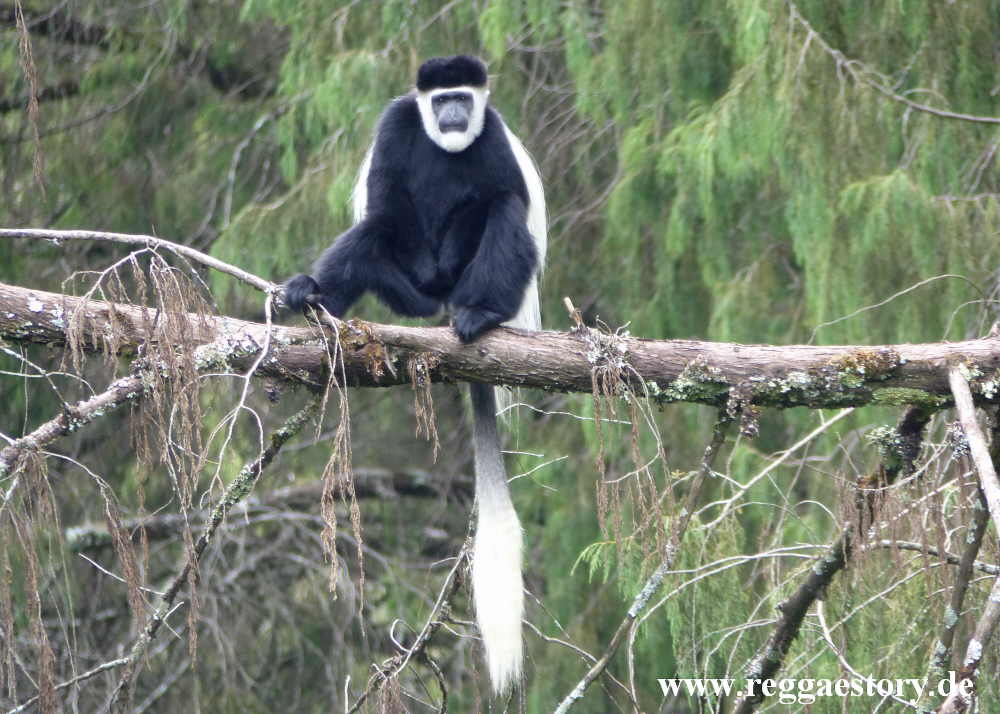 Ethiopia - Oromia - Bale National Park - Dinsho - Colobus Monkey