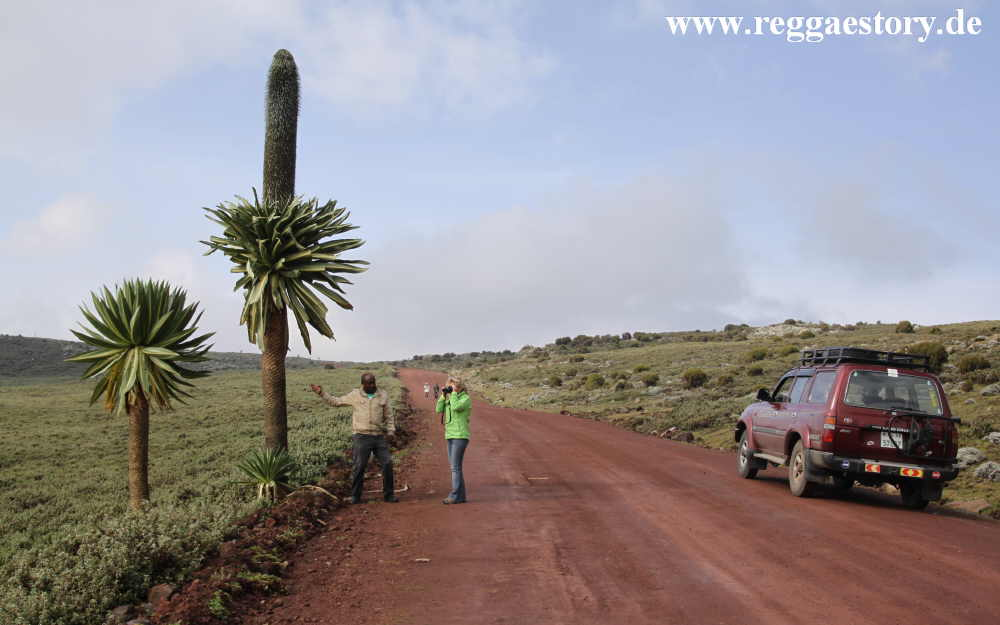 Ethiopia - Bale Mountains - Giant Lobelia