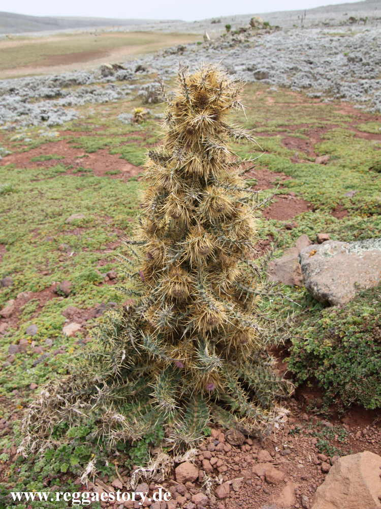 Ethiopia - Bale Mountains - Sanetti Plateau - Distel