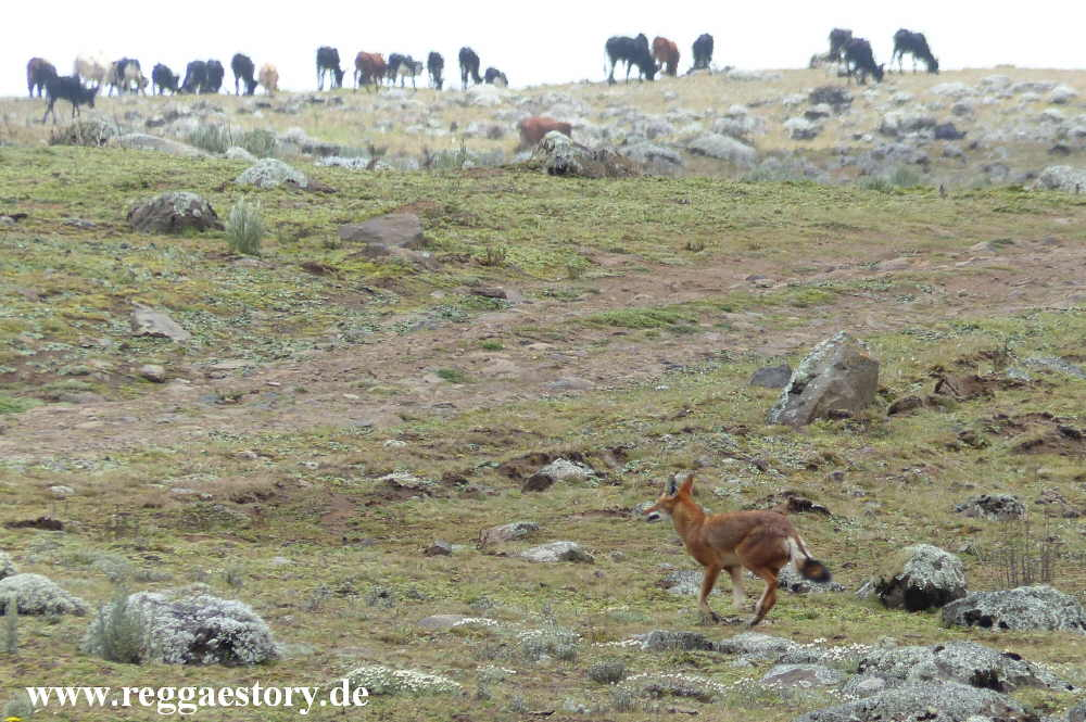 Ethiopia - Bale Mountains - The Ethiopian Wolf