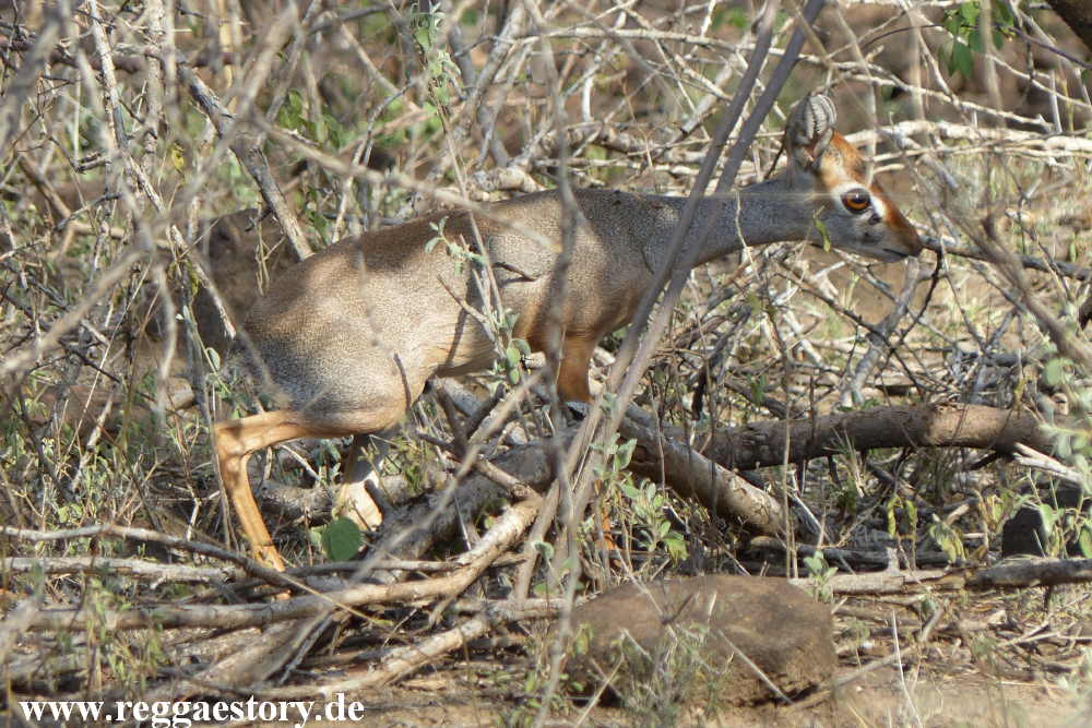 Ethiopia - Awash Nationalpark - Dik Dik