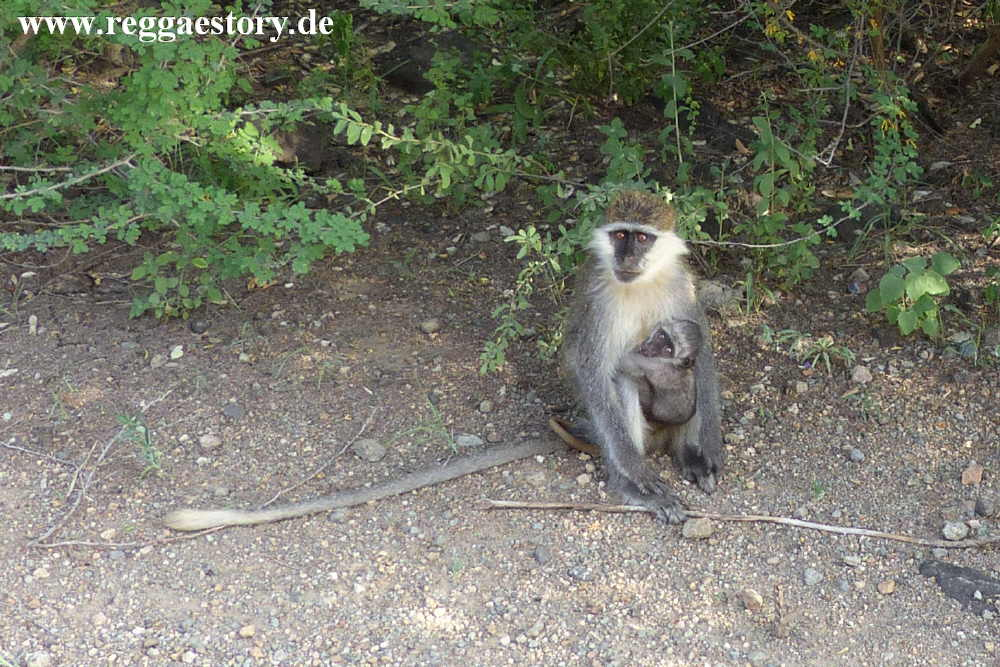 Awash Nationalpark - Grivet Monkey