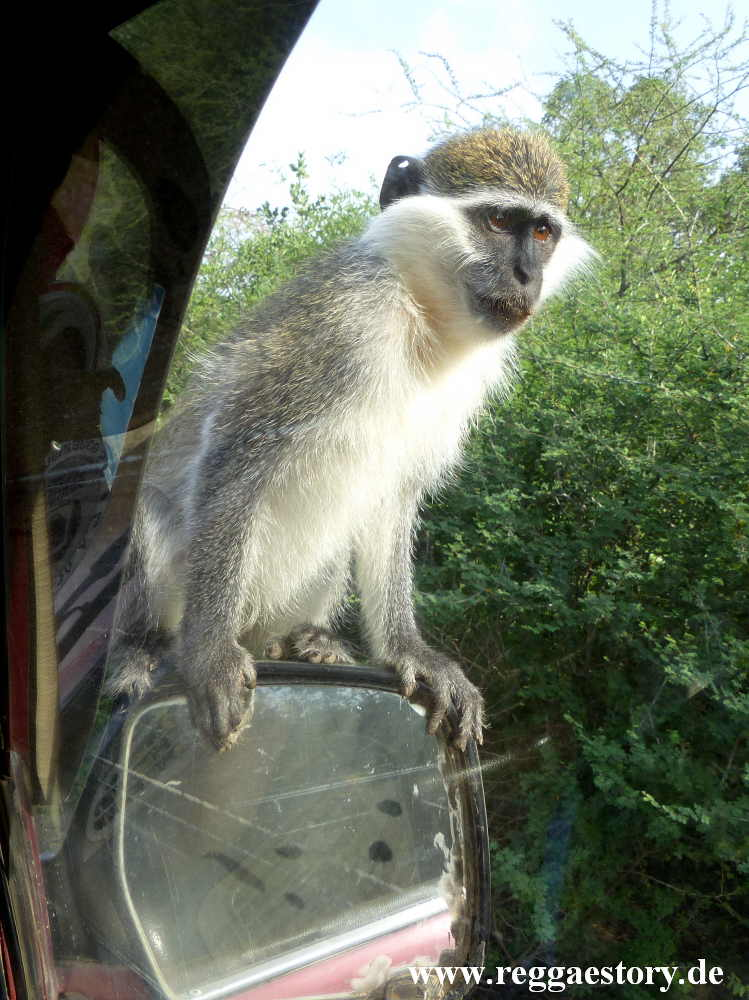 Ethiopia - Awash - Nationalpark - Monkey