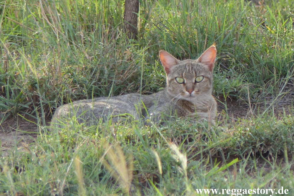 Ethiopia - Awash Nationalpark - Wildcat