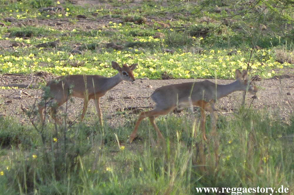 Ethiopia - Awash Nationalpark - Salt´s Dik-dik