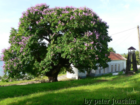 Der Giant June Rose Tree von St. Margaret´s Bay